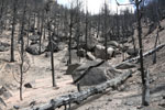 Burned forest in Ute Pass